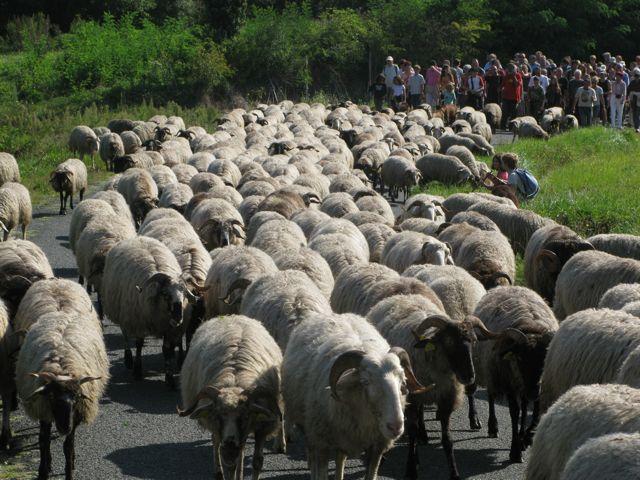 chèvres de la fête de transhumance