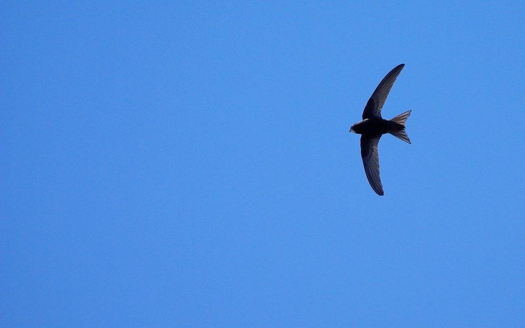 Le Martinet noir de retours dans le ciel de nos parcs !